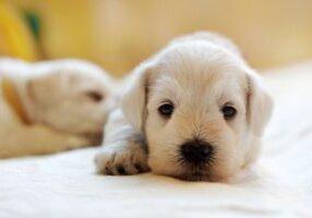 puppy-PG58BDX